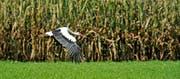 Die Idylle trügt: In der Region Rheintal-Werdenberg darf 2020 auf Maisfeldern von diesem Jahr im kein Mais gepflanzt werden. (Bild: Reto Martin)