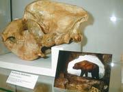 Emil Bächler und seine Helfer bargen aus der Wildkirchli-Höhle nicht nur das ganze Skelett eines Höhlenbären, sondern auch verschiedene Fragmente, darunter fünf Schädel der mächtigen Tierart. (Bild: Archiv «St.Galler Tagblatt»)