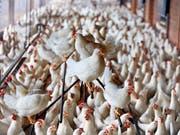 In der Hühnerzucht werden heute lebende Küken geschreddert, weil sie das falsche Geschlecht haben. Das hat das Parlament nun verboten. (Bild: KEYSTONE/GAETAN BALLY)