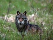 Die Debatte um den Wolf geht weiter, denn zur vom Parlament gutgeheissenen Revision des Jagdgesetzes ist das Referendum schon angekündigt. (Bild: KEYSTONE/MARCO SCHMIDT)