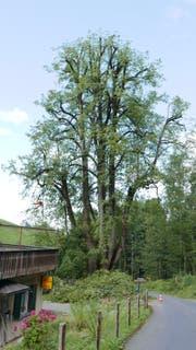 35 Meter hoch ist die alte Rogghalm-Linde. Sie droht auseinanderzufallen. (Bild: PD)