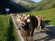 Die Kühe wurden für die «Bodäfahrt» geschmückt.
