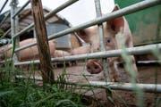Unter anderem der zunehmend tierfreundliche Auslauf vor den Ställen sorgt für mehr Gestank in ländlichen Regionen. (Symbolbild: Melanie Duchene/Keystone, 13. Juni 2018)