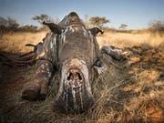 Die Zahl der von Wilderern getöteten Nashörner in Südafrika ist etwas zurückgegangen. (Bild: KEYSTONE/AP STROOP/SUSAN SCOTT)
