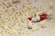 In der Eierproduktion sind männliche Küken unbrauchbar. (Bild: Keystone)