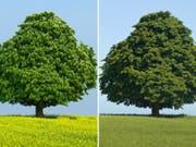 Über die Hälfte der europäischen Baumarten sind bedroht. Ein Beispiel ist die Gewöhnliche Rosskastanie (im Bild im Frühling und im Sommer). Die nationale Rote Liste der Schweiz zählt nur zwei Baumarten auf: die Flatterulme und den Speierling.