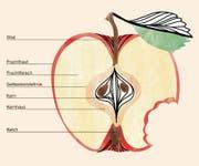 Ein reifer Apfel besteht aus 40 bis 60 Millionen Zellen. Gut zu unterscheiden sind Fruchtstiel und Fruchtfleisch. Der Fruchtstiel dient dem Transport von Wasser und Nährstoffen. Das Fruchtfleisch macht 90 Prozent der Apfelfrucht aus. Für den Geschmack sind Zucker, Säuren, Aromastoffe und weitere Substanzen verantwortlich. Die Kerne in den fünf Kernfächern sind die Samen des Apfels.