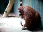 Die Orang-Utan-Dame Sandra darf vom Zoo in Buenos Aires in ein Reservat in Florida umziehen. (Bild: KEYSTONE/AP/NATACHA PISARENKO)
