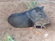 Eine Wildschweinmutter mit ihrem Frischling im Auffanglager.