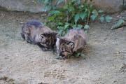 Die beiden Pumababys weisen noch ein geflecktes Fell auf. (Bild: PD/Plättli Zoo)