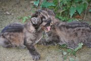 Die beiden Pumababys Dana und Sigi. (Bild: PD/Plättli Zoo)