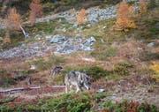 Symbolbild eines Wolfs.