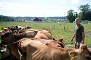 Martin Schuler mit seinen Jersey-Rindern. Im Hintergrund ist die Wiese zu sehen, auf der der neue Stall zu stehen kommen soll. (Bild: Maria Schmid, Drälikon, 11. Juli 2018)