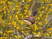 Der Rotscheitelsäbler (Pomatostomus ruficeps) lebt in sozialen Gruppen im australischen Outback. (Bild: Niall Stopford)
