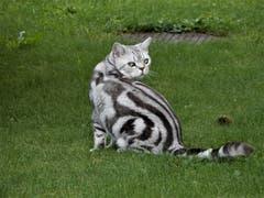 Was für eine wunderschöne «Schmuse-Katze». (Bild: Margrith Imhof-Röthlin (Meggen, 30. September 2018))