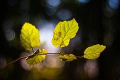 Herbstblätter, fotografiert mit einem Oreston 1.8/50mm, einem alten, manuellen Objektiv aus den 60er-Jahren aus der DDR. Dadurch entsteht der Look mit dem sogenannten Bubble-Bokeh im Hintergrund. (Bild: Petra Jung (Hämikon, 30. September 2018))