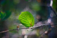 Herbstliche Stimmung, fotografiert mit einem Oreston 1.8/50mm. Dies ist ein altes, manuelles Objektiv aus den 60er-Jahren aus der DDR. Dadurch entsteht der Look mit dem sogenannten Bubble-Bokeh im Hintergrund. (Bild: Petra Jung (Hämikon, 30. September 2018))