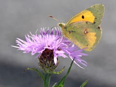'Die goldene Acht' - ein schmucker Schmetterling. (Bild: Bruno Schuler, 9. Oktober 2018)