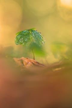 Klee im Herbstwald. (Bild: Franziska Hörler)