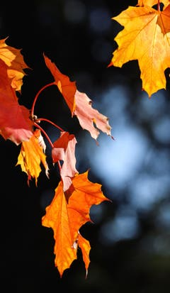 Leuchtender Herbst bei Matzingen. (Bild: Ralph Brühwiler)
