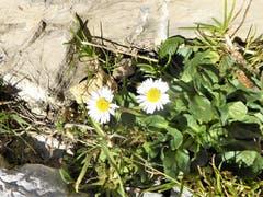 Die zwei Margritli erfreuen sich noch an der warmen Herbstsonne zu sein. (Bild: Hans Steiner)