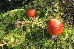 Keine Tomaten, keine Äpfel, es sind Pilze! (Bild: Edi Ulmi)