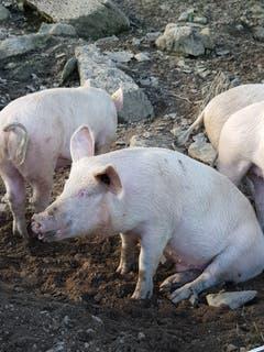 Sauwohl fühlen sich die Alpschweine auf Sellamat. (Bild: Reto Schlegel)