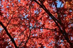 Ein feuerrotes Blätterdach in Romanshorn. (Bild: Hansjürg Oesch)