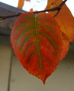 Herbstblatt von unserer Felsenbirne. (Bild: Stephan Lendi)