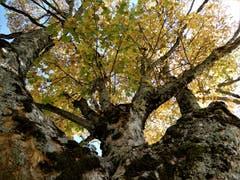 Unter so einem schönen Baum zu stehen, ist einfach nur unbeschreiblich schön! Aufgenommen auf der Wanderung von der Gummenalp zum Wirzweli. (Bild: Margrith Imhof-Röthlin)