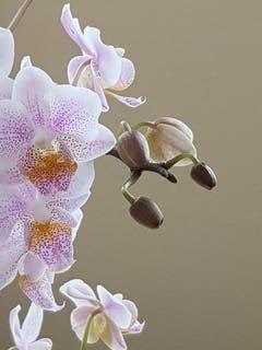 Zarte Orchideenblüten. (Bild: Reto Schlegel)
