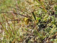 Eine fast perfekte Tarnung ist diesem Schmetterling gelungen! Aufgenommen auf der Wanderung vom Sörenberg zum Kemmeriboden Bad. (Bild: Margrith Imhof-Röthlin, 12. Oktober 2018))