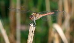 Heidelibelle auf dem «Hochsitz» – hält Ausschau nach Insekten. (Bild: Bruno Schuler (Rotsee, 12. Oktober 2018))