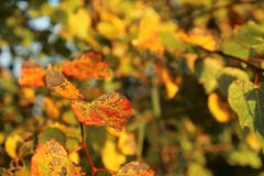 Farben des Herbstes. (Bild: Irene Wanner (Wauwiler Moos, 13. Okotober 2018))