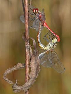 Das Weibchen hat das Männchen fest im Griff. (Bild: Bruno Schuler (Rotsee, 12. Oktober 2018))