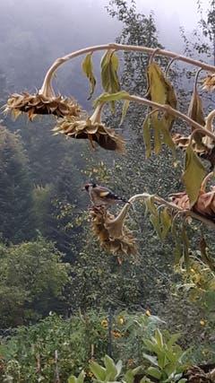 Wenn die Sonnenblumen verblüht sind gibt es immer Besuch von den Distelfinken. (Bild: Hanny Wirz (Steinhuserberg, 12. Oktober 2018))