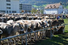 Kantonale Viehschau Nidwalden 2018 in Oberdorf. (Bild: Matthias Stadler, 13. Oktober 2018)