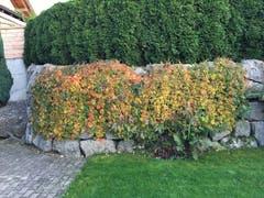 Wilde Rebe im bunten Herbst. (Bild: Klaus Abächerli)