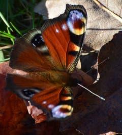 Auch am 13. Oktober hat es noch Schmetterlinge. (Bild: Stephan Lendi)