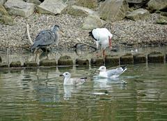 Storch und Wasservögel im Altenrhein. (Bild: Jeannette Gabathuler)