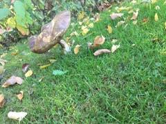 Grosse Pilze gabs beim Schulhaus Krontal. (Bild: Nino Zurli)
