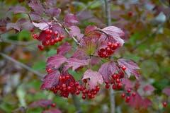 Beeren und Blätter Ton in Ton. (Bild: Jeannette Gabathuler)