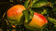 Herbstzeit ist auch Erntezeit: reife Äpfel an einem Baum bei Berg SG. (Leserbild: Stefan Truffer - 28. September 2018)
