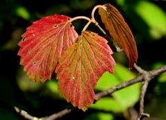 Herbstblatt im Botanischen Garten St.Gallen. (Leserbild: Hans Adelmann - 9. Oktober 2018)