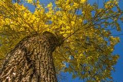 Wenn sich die Bäume goldgelb verfärben. (Leserbild: Franziska Hörler - 5. Oktober 2018)