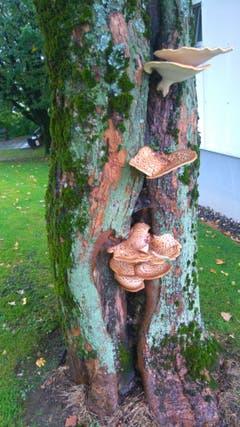 Pilze an einem Baum beim Stephanshorn. (Bild: Dominik Karrer)