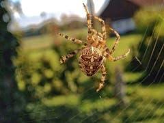 Spinne ganz nah. (Bild: Toni Sieber)