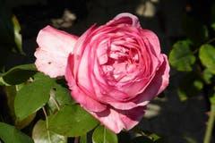 Späte Rose an einem Bauernhaus oberhalb Abtwil. (Bild: Wolfgang Ponader)