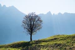 Auf Alp Horn. Baum vor dem Windenpass. (Bild: Franz Häusler)