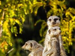 Alles unter Kontrolle - jeder hat seine Blickrichtung. Erdmännchen im Walter Zoo Gossau. (Bild: Renato Maciariello)